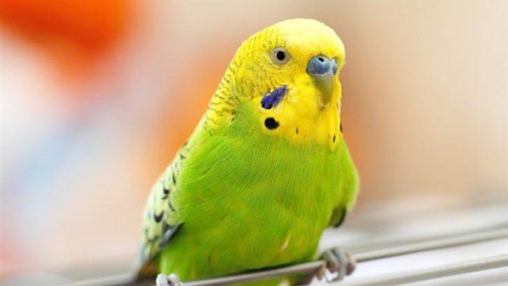 Muhabbet Kuşlarında A Vitamini Eksikliği
