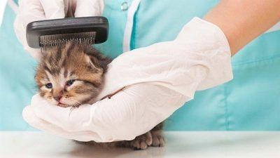 Kedi Tüylerinde Keçeleşme ve Çözümü