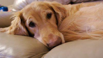 Köpeklerde Epilepsi Nedenleri ve Tedavisi