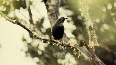 Kauai Kuşu ve Hüzünlü Son Şarkı