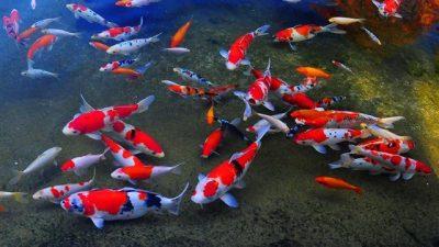 Soğuk Suya Dayanıklı Balık Türleri