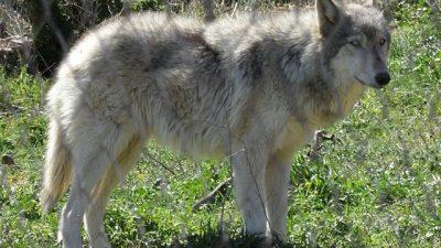 Wolfdog Hibrit Irkı Hakkında Genel Bilgiler