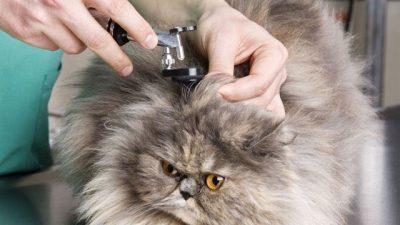 Kedi Kulakları Nasıl Temizlenir?