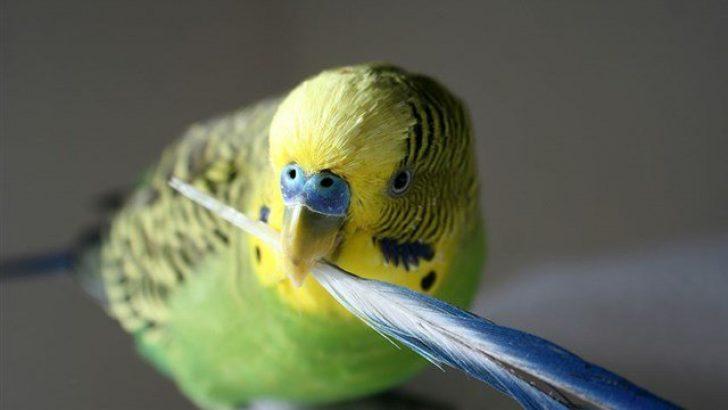 Muhabbet Kuşlarında Tüy Dökme ve Tüy Dökülmesi