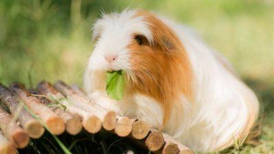Guinea Piglerde C Vitamini ve Eksikliği