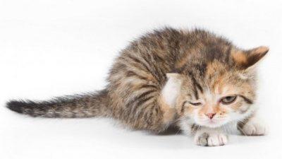 Kedi ve Köpeklerde Pire Enfestasyonu