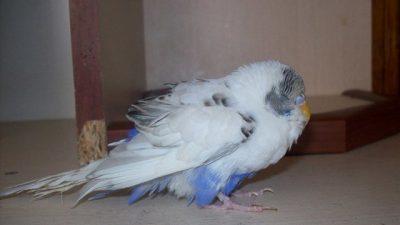 Muhabbet Kuşlarında Böbrek Hastalığı