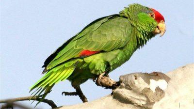 Amazon Papağanı (En Konuşkan Papağan Türü)