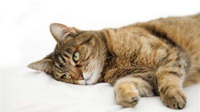 Kedilerde En Ölümcül 5 Hastalık