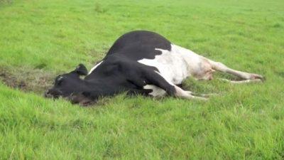 Sığırlarda Süt Humması (Hipokalsemi) ve Klinik Belirtileri