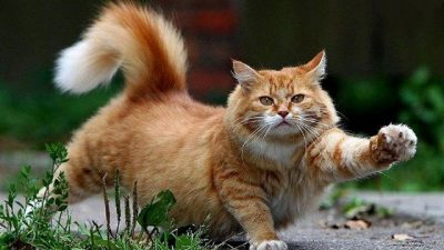 Kedi Davranışları ve Kedi Davranışlarının Anlamı