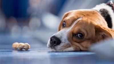 Köpeklerde Diabetes Mellitus (Şeker Hastalığı)