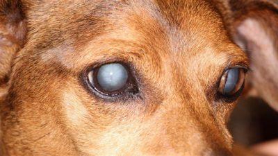 Köpeklerde Katarakt ve Belirtileri
