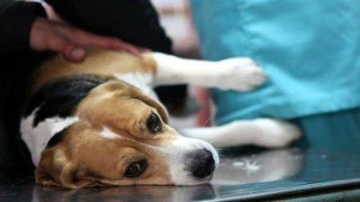 Köpeklerde Pyometra'nın Klinik Belirtileri