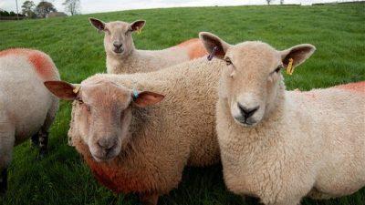 Koyunlarda Çiçek Hastalığı (Koyun Çiçeği)
