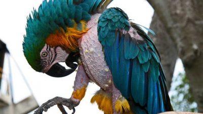 Papağanlarda Tüy Yolmanın Nedenleri