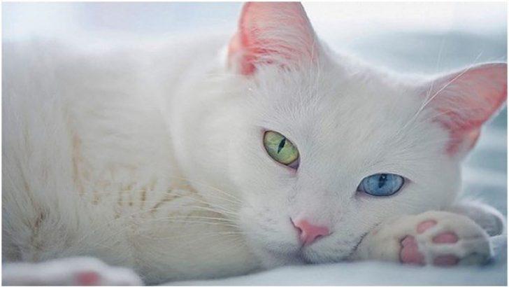 En Popüler 4 Kedi Irkı