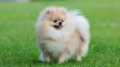 Pomeranian Köpeği Hakkında Bilgi