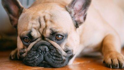 Köpeklerde Mantar Hastalıkları (Microsporum Canis)