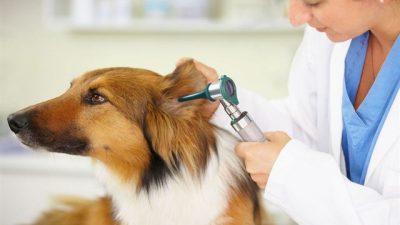 Köpeklerde Othematom'un Klinik Belirtileri ve Tedavisi