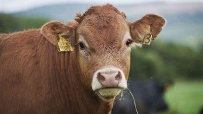 Sığırlarda Antraks (Şarbon Hastalığı)