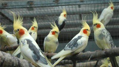 Sultan Papağanlarında İshal Nedenleri ve Tedavisi