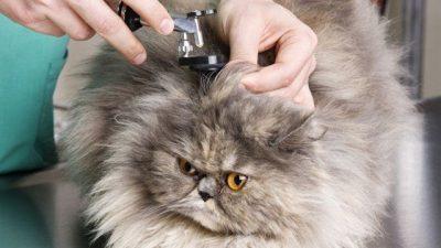 Kedilerde Kulak Akıntısı Nedenleri ve Tedavisi