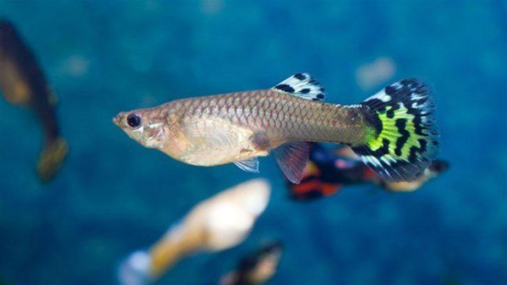En Bilinen Canlı Doğuran Akvaryum Balığı Türleri