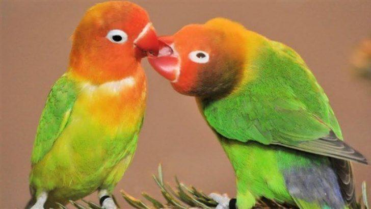 Cennet Papağanı Özellikleri