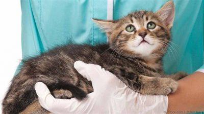Kedilerde En Ciddi 3 Bulaşıcı Hastalık
