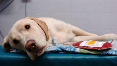 Kedi ve Köpeklerde Kan Grupları ve Kan Transfüzyonu
