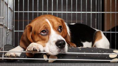 Köpeklerde Bordetella Bronchiseptica Enfeksiyonu (Barınak Hastalığı)