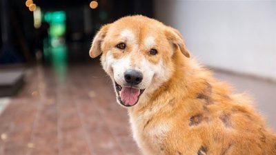 Köpeklerde Bölgesel Tüy Dökülmesi Nedenleri ve Tedavi Seçenekleri