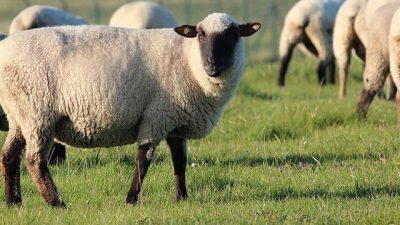 2019 Koyun ve Keçi Fiyatları
