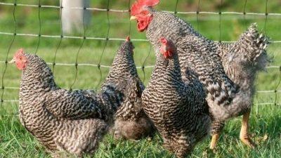 Pleymut Tavuğu Genel Özellikleri ve Yumurta Verimi