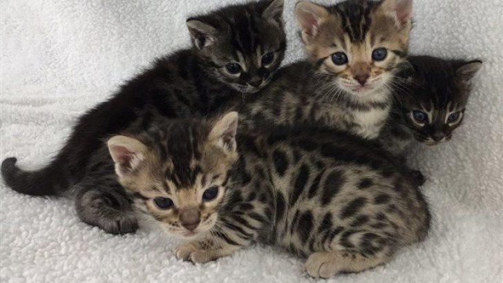 Yavru Kedilerde Aşırı Zayıflık ve Kilo Almama