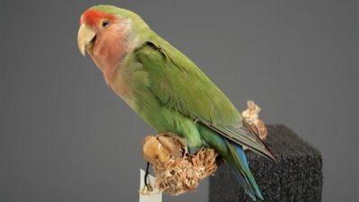 Cennet Papağanı (Sevda Papağanı) Bakımı ve Eğitimi