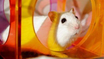 Hamster Nasıl Eğitilir? Hamster Eğitim Yöntemleri