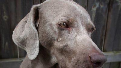 Köpekler Neden Ağlar? Köpek Ağlaması Nasıl Geçer?