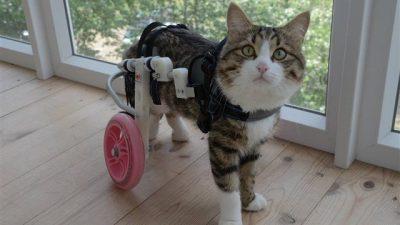 Kedi Arka Ayak Tutmaması ve Felci