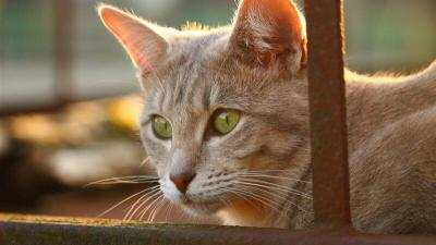 Kediler Ortalama Kaç Yıl Yaşar? Irklara Göre Kedi Yaşam Süreleri