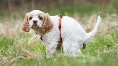 Köpeklerde Akut (Ani) İshal Nedenleri ve Tedavisi